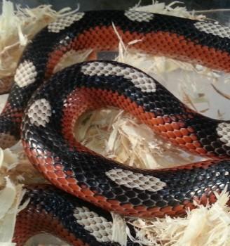 Milk snake from Ward's World in Riverview, photo Brandon Jones Repticon 2014
