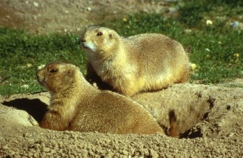 Prairie Dogs Image/Singer Ron, U.S. Fish and Wildlife Service