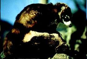 raccoon-like animal