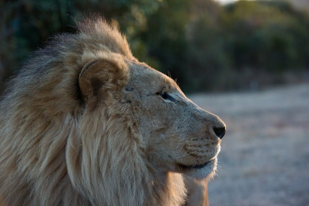 This one-hour special provides an in-depth look into the lions' unique physical attributes, their complex hunting strategies and their intricate hierarchy. The show follows Boone Smith across the Nambiti Game Reserve, as he tracks a lion coalition as they hunt and search for a mate, ultimately putting him face to face with them in The Box.(photo credit:  National Geographic Channels/Mariella Furrer)