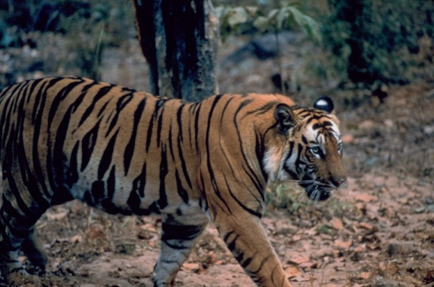 BANDHAVGARH, INDIA: A remote and protected wilderness, Bandhavgarh, lies deep in the heart of ancient India.  Tigers battle for dominance among the ruins of a lost empire. (Photo credit: © National Geographic Channels)