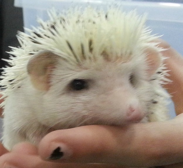 Hedgehog at Repticon Tampa, Nov 2014 photo/Brandon Jones