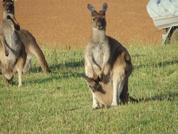 Kangaroo and Joey/Tom Lind
