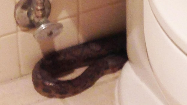 This boa crawled out of the toilet, shocking a PR firm in San Diego  photo supplied by Vertical PR