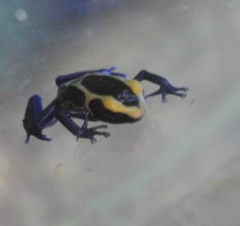 Dart frog at Repticon Tampa  photo/Alyson Jones