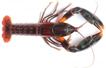Cherax snowden/http://zookeys.pensoft.net/articles.php?id=6127&display_type=element&element_type=8&element_id=21259&element_name=