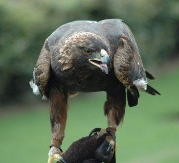 Nova - an American golden eagle  photo/ J. Glover Atlanta, Georgia