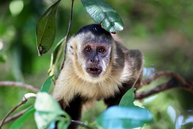 Capuchin monkey Image/joelfotos